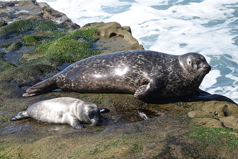 Before diving seals reduce blood flow to their blubber